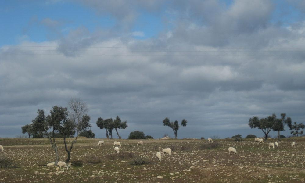 ovejas secarral